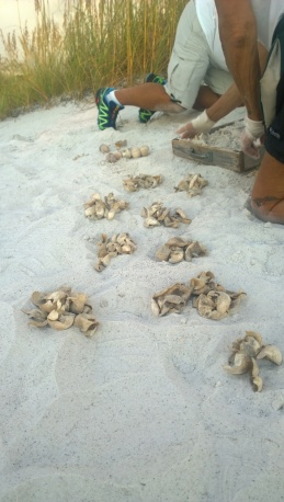 AMITW volunteers sort contents pulled from a hatched sea turtle nest Sept. 4 to determine how many eggs hatched, how many did not and if hatchlings remain in the nest.