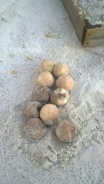 Thirteen unhatched eggs were found during a nest excavation performed by AMITW volunteers Sept. 4.