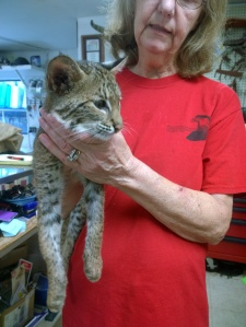 Gail Straight, owner of Wildlife Inc. in Bradenton Beach, holds a 15-week-old bobcat Aug. 6. The juvenile bobcat was rescued in Myakka City and brought to the Bradenton Beach center to be rehabilitated