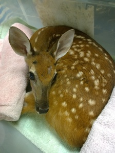 A fawn with a broken vertebra rests at Wildlife Inc. in Bradenton Beach. The fawn was rescued from a residence in Tampa.