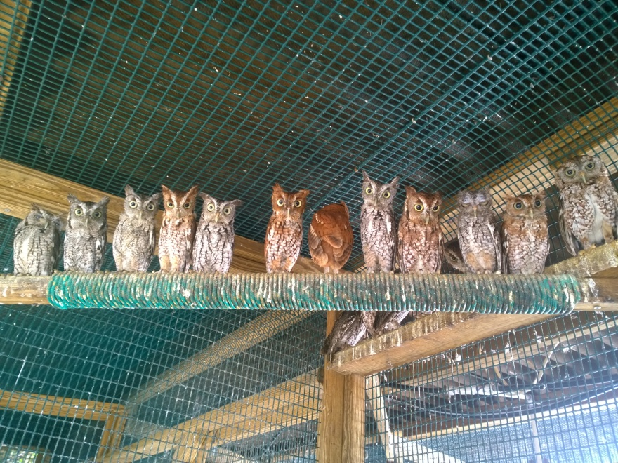 Screech owls line a perch in one of the cages at Wildlife Inc. in Bradenton Beach.